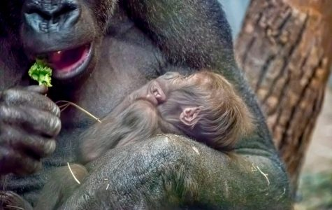Zoo welcomes baby gorilla