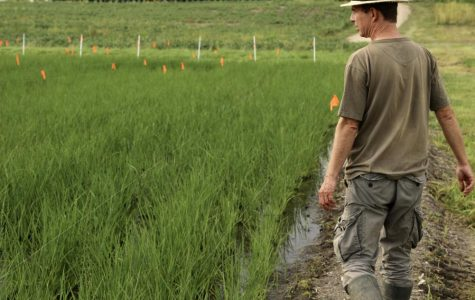 Professor leads harvest of first rice paddy in Wisconsin