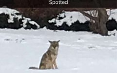 Coyote wanders onto campus